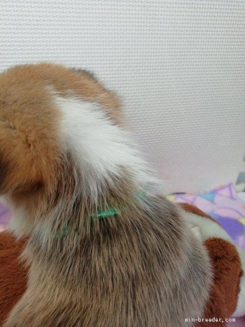 ウェルシュ・コーギー・ペンブロークの子犬(ID:1255611123)の2枚目の写真/更新日:2018-01-29