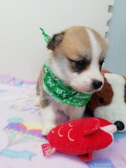 ウェルシュ・コーギー・ペンブロークの子犬(ID:1255611123)の3枚目の写真/更新日:2020-09-22