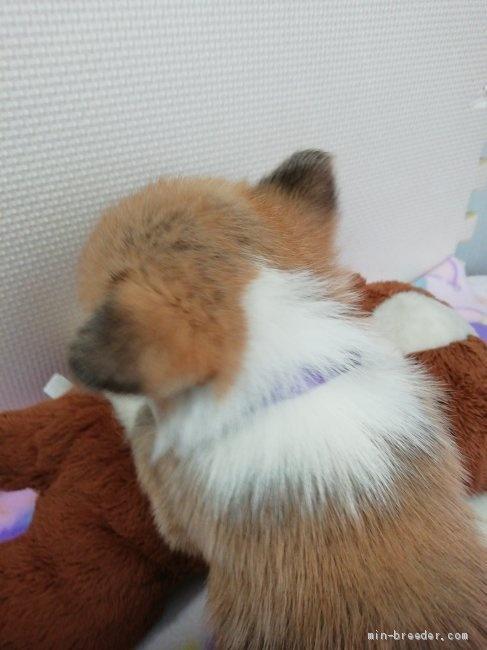 ウェルシュ・コーギー・ペンブロークの子犬(ID:1255611124)の2枚目の写真/更新日:2018-01-29