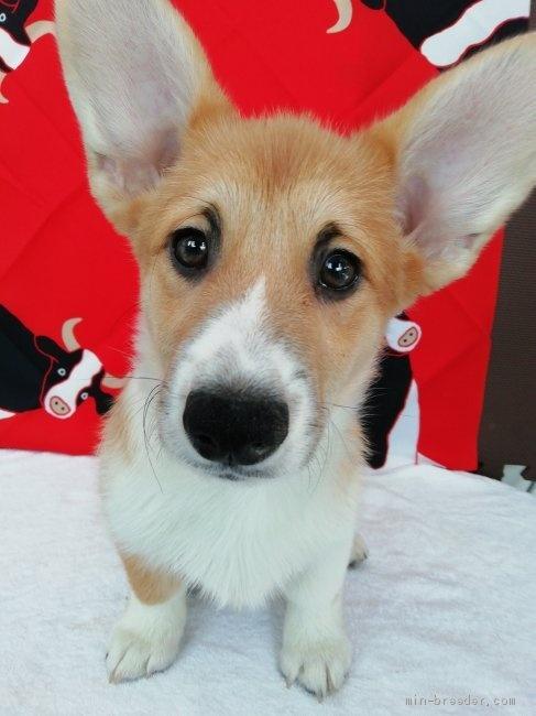 ウェルシュ・コーギー・ペンブロークの子犬(ID:1255611125)の1枚目の写真/更新日:2021-01-04