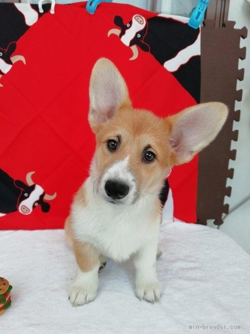 ウェルシュ・コーギー・ペンブロークの子犬(ID:1255611125)の4枚目の写真/更新日:2021-01-04