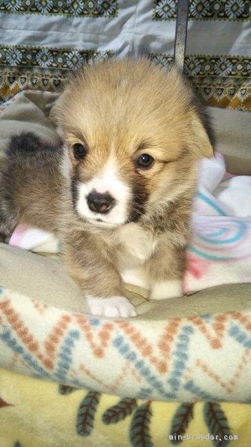 ウェルシュ・コーギー・ペンブロークの子犬(ID:1255611126)の1枚目の写真/更新日:2018-03-23