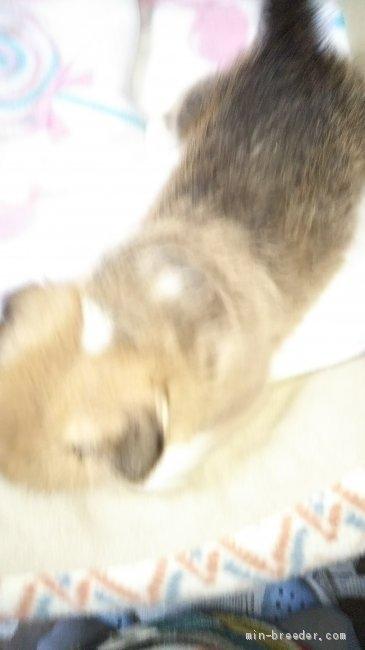 ウェルシュ・コーギー・ペンブロークの子犬(ID:1255611126)の2枚目の写真/更新日:2018-03-23