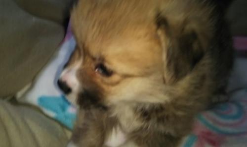 ウェルシュ・コーギー・ペンブロークの子犬(ID:1255611126)の3枚目の写真/更新日:2018-03-23