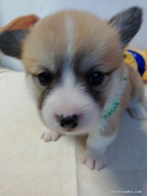 ウェルシュ・コーギー・ペンブロークの子犬(ID:1255611127)の1枚目の写真/更新日:2018-03-23
