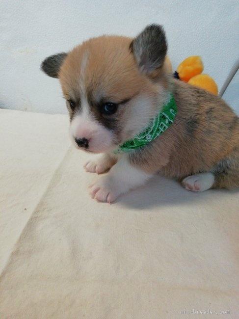 ウェルシュ・コーギー・ペンブロークの子犬(ID:1255611127)の3枚目の写真/更新日:2018-03-23