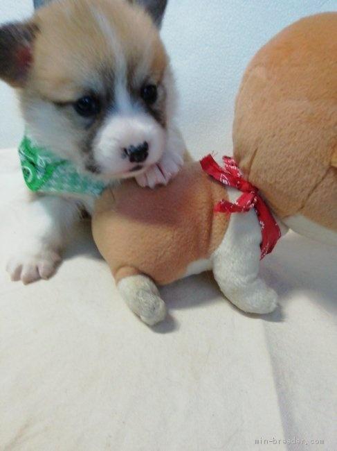 ウェルシュ・コーギー・ペンブロークの子犬(ID:1255611127)の5枚目の写真/更新日:2021-04-29