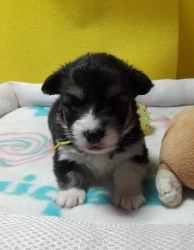 ウェルシュ・コーギー・ペンブロークの子犬(ID:1255611129)の1枚目の写真/更新日:2018-04-02