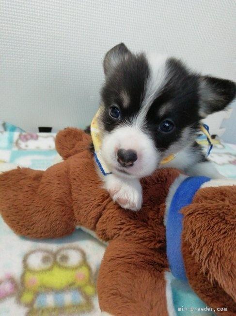 ウェルシュ・コーギー・ペンブロークの子犬(ID:1255611130)の1枚目の写真/更新日:2018-04-02