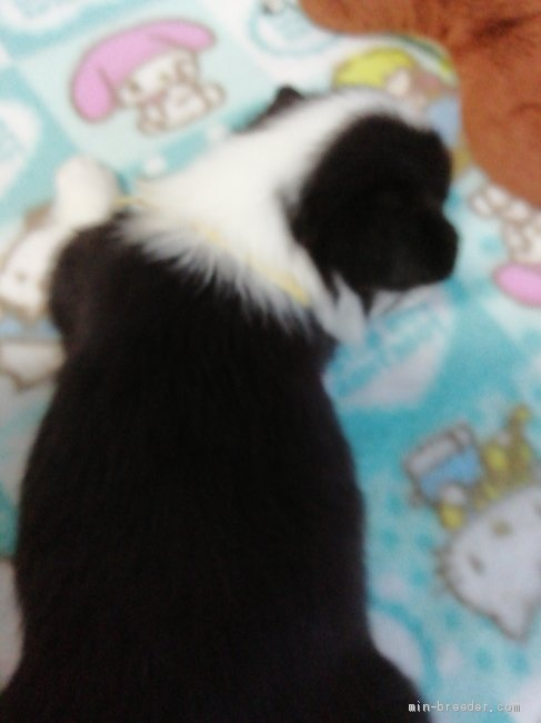ウェルシュ・コーギー・ペンブロークの子犬(ID:1255611130)の2枚目の写真/更新日:2018-04-02