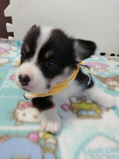 ウェルシュ・コーギー・ペンブロークの子犬(ID:1255611130)の3枚目の写真/更新日:2020-09-22