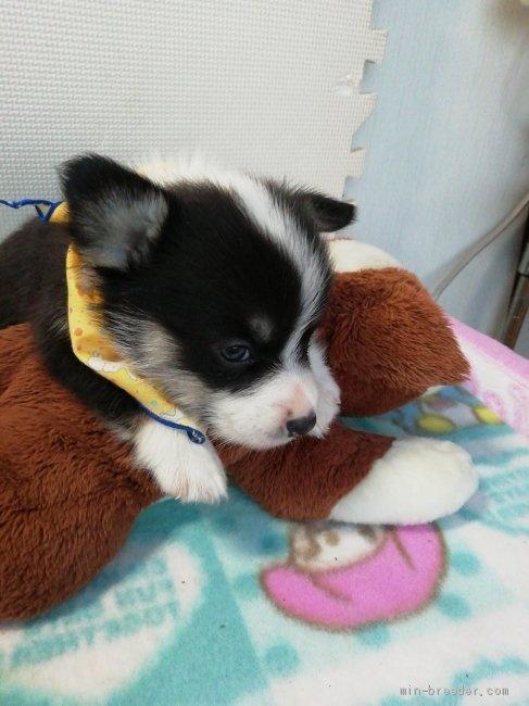 ウェルシュ・コーギー・ペンブロークの子犬(ID:1255611130)の4枚目の写真/更新日:2020-09-22