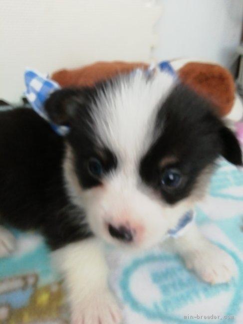 ウェルシュ・コーギー・ペンブロークの子犬(ID:1255611131)の1枚目の写真/更新日:2020-09-22