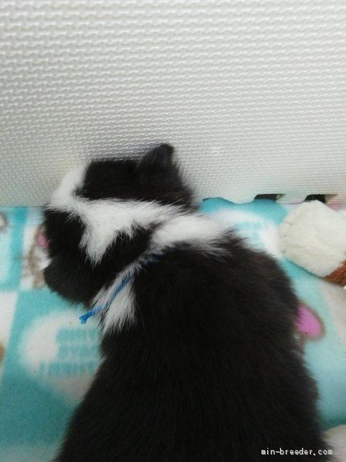 ウェルシュ・コーギー・ペンブロークの子犬(ID:1255611131)の2枚目の写真/更新日:2020-09-22