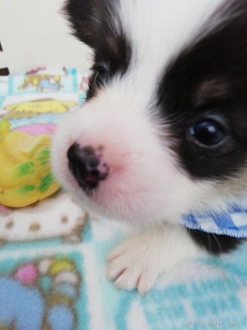 ウェルシュ・コーギー・ペンブロークの子犬(ID:1255611131)の3枚目の写真/更新日:2020-09-22