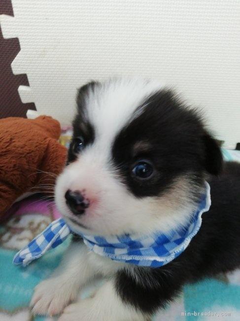 ウェルシュ・コーギー・ペンブロークの子犬(ID:1255611131)の5枚目の写真/更新日:2020-09-22