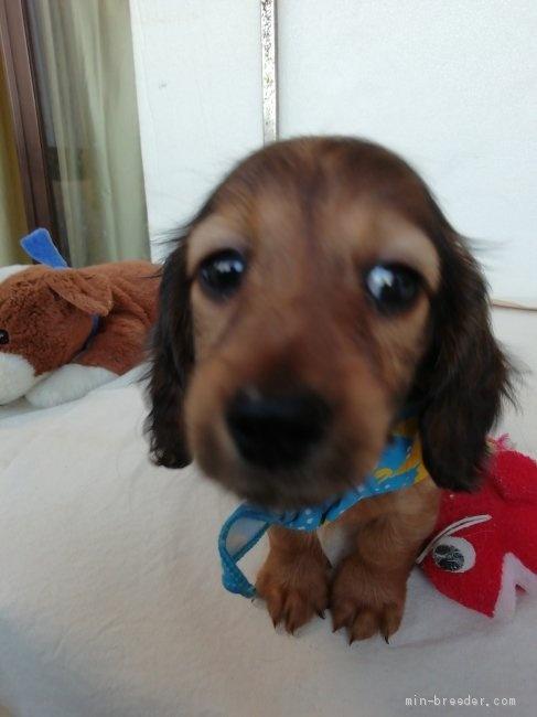 カニンヘンダックスフンド(ロング)の子犬(ID:1255611132)の1枚目の写真/更新日:2020-04-06