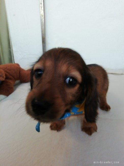 カニンヘンダックスフンド(ロング)の子犬(ID:1255611132)の2枚目の写真/更新日:2018-05-28