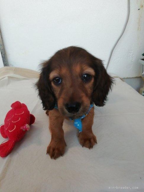 カニンヘンダックスフンド(ロング)の子犬(ID:1255611132)の3枚目の写真/更新日:2020-04-06