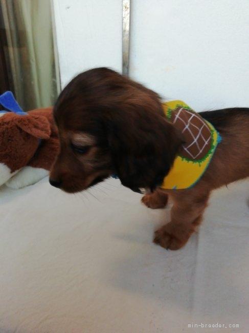 カニンヘンダックスフンド(ロング)の子犬(ID:1255611132)の4枚目の写真/更新日:2021-05-05