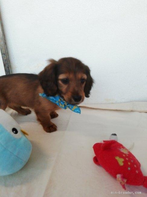 カニンヘンダックスフンド(ロング)の子犬(ID:1255611132)の5枚目の写真/更新日:2021-05-05