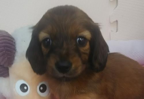 ミニチュアダックスフンド(ロング)の子犬(ID:1255611133)の1枚目の写真/更新日:2018-05-28