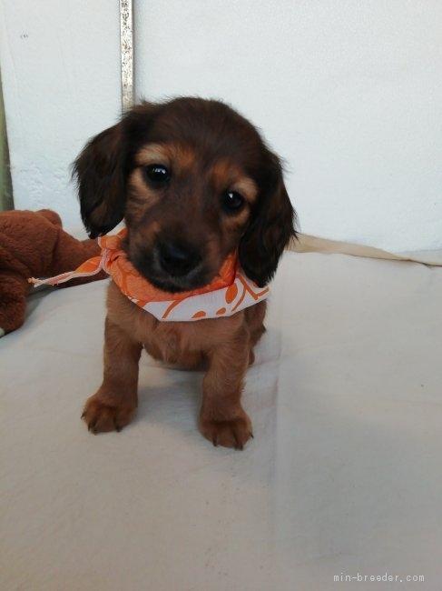 ミニチュアダックスフンド(ロング)の子犬(ID:1255611134)の1枚目の写真/更新日:2018-05-28