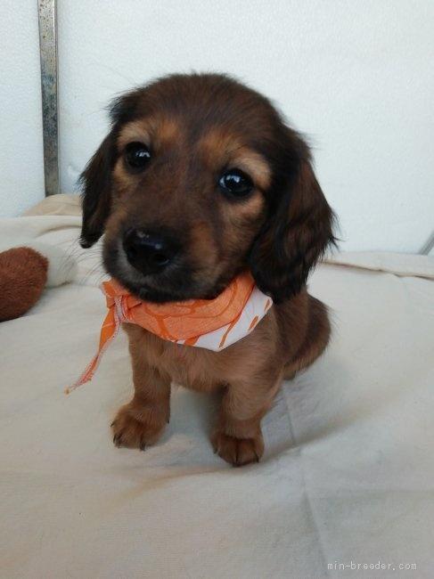 カニンヘンダックスフンド(ロング)の子犬(ID:1255611134)の2枚目の写真/更新日:2020-04-06