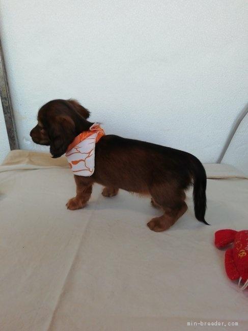 カニンヘンダックスフンド(ロング)の子犬(ID:1255611134)の3枚目の写真/更新日:2020-04-06