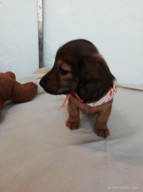 カニンヘンダックスフンド(ロング)の子犬(ID:1255611134)の5枚目の写真/更新日:2021-05-05