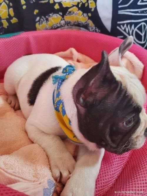 フレンチブルドッグの子犬(ID:1255611135)の2枚目の写真/更新日:2019-01-14