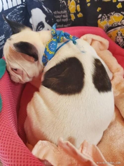 フレンチブルドッグの子犬(ID:1255611135)の4枚目の写真/更新日:2019-01-14