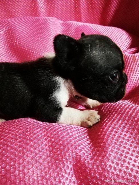 フレンチブルドッグの子犬(ID:1255611137)の5枚目の写真/更新日:2021-07-21