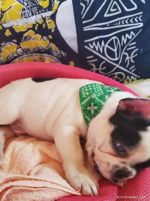 フレンチブルドッグの子犬(ID:1255611141)の2枚目の写真/更新日:2021-07-21