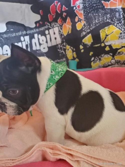 フレンチブルドッグの子犬(ID:1255611141)の3枚目の写真/更新日:2021-07-21