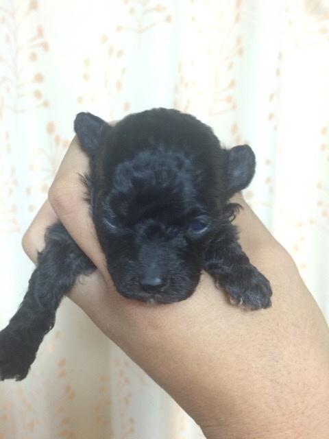 トイプードルの子犬(ID:1255911011)の2枚目の写真/更新日:2015-11-13