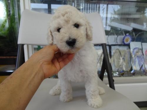スタンダードプードルの子犬(ID:1256211002)の1枚目の写真/更新日:2018-07-23