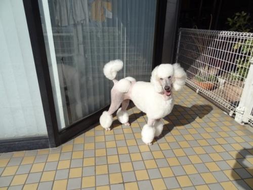 スタンダードプードルの子犬(ID:1256211002)の3枚目の写真/更新日:2018-07-23