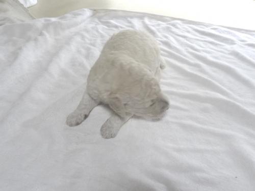 スタンダードプードルの子犬(ID:1256211003)の1枚目の写真/更新日:2018-06-11