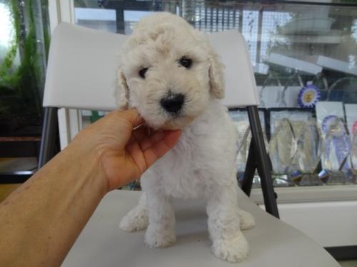 スタンダードプードルの子犬(ID:1256211003)の4枚目の写真/更新日:2018-07-06