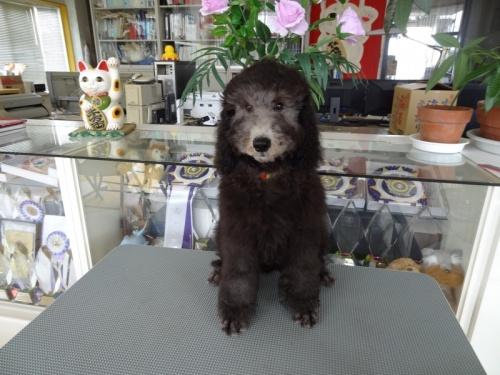 スタンダードプードルの子犬(ID:1256211004)の1枚目の写真/更新日:2018-07-23