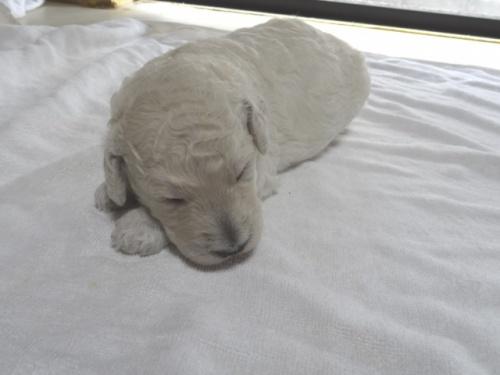 スタンダードプードルの子犬(ID:1256211005)の1枚目の写真/更新日:2018-06-11