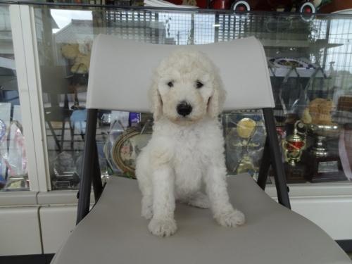 スタンダードプードルの子犬(ID:1256211005)の4枚目の写真/更新日:2018-07-06