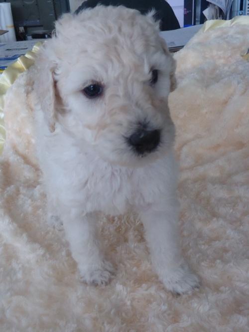 スタンダードプードルの子犬(ID:1256211026)の1枚目の写真/更新日:2017-02-14