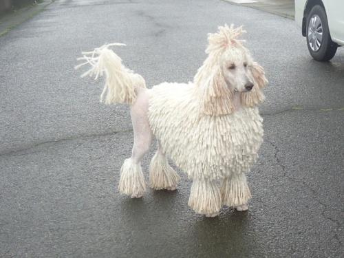 スタンダードプードルの子犬(ID:1256211026)の2枚目の写真/更新日:2017-02-14