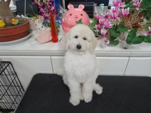 スタンダードプードルの子犬(ID:1256211026)の5枚目の写真/更新日:2017-04-11