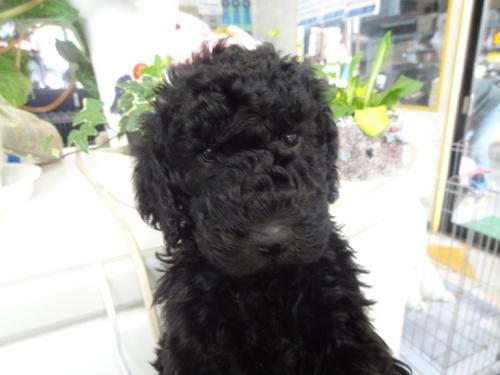 スタンダードプードルの子犬(ID:1256211027)の4枚目の写真/更新日:2017-03-02