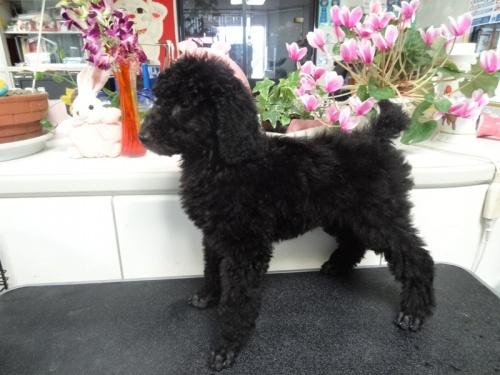 スタンダードプードルの子犬(ID:1256211027)の8枚目の写真/更新日:2017-04-11