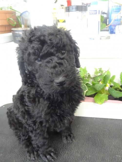 スタンダードプードルの子犬(ID:1256211028)の4枚目の写真/更新日:2017-03-02