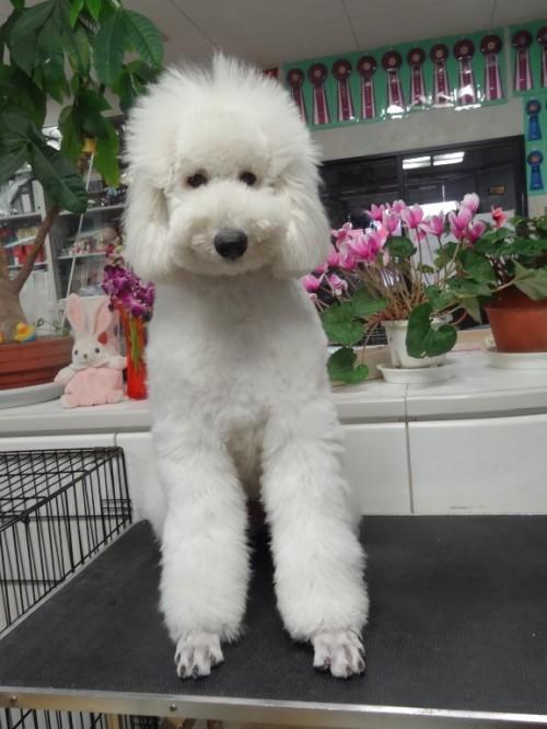 スタンダードプードルの子犬(ID:1256211030)の1枚目の写真/更新日:2017-03-24